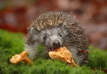 wat eet egel